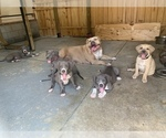 Small American Bully Mikelands