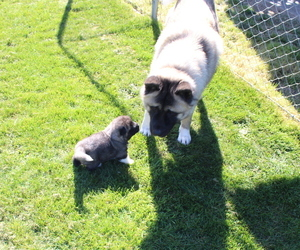 Akita Litter for sale in PORT ORCHARD, WA, USA