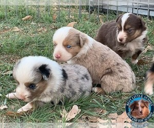 Miniature Australian Shepherd Litter for sale in GRANBURY, TX, USA
