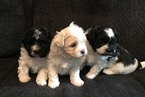 Zuchon Puppy For Sale in PUTNAM, CT, USA