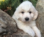 Great Pyrenees-Poodle (Toy) Mix Puppy For Sale in BOWLING GREEN, OH, USA