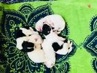 Pomeranian Puppy For Sale in KENNESAW, GA, USA