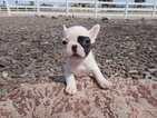 French Bulldog Puppy For Sale in HESPERIA, CA, USA