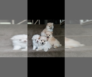 Pomeranian Litter for sale in PALMDALE, CA, USA