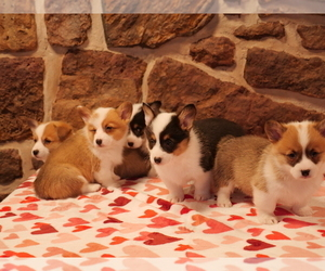 Pembroke Welsh Corgi Litter for sale in SPRINGFIELD, MO, USA