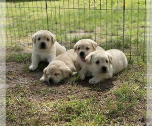 Labrador Retriever Litter for sale in ANTELOPE, CA, USA