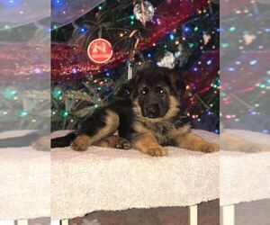 German Shepherd Dog Litter for sale in INDIANAPOLIS, IN, USA