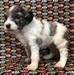 Aussie-Poo Puppy For Sale in NUNN, CO, USA