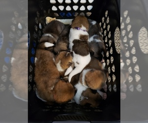 Akita Litter for sale in HUTCHINSON, MN, USA