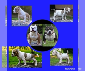 American Bully Litter for sale in SYLACAUGA, AL, USA
