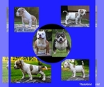 American Bully Puppy For Sale in SYLACAUGA, AL, USA