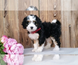 Miniature Bernedoodle Litter for sale in SUGARCREEK, OH, USA