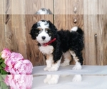 Miniature Bernedoodle Puppy For Sale in SUGARCREEK, OH, USA