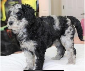 Goldendoodle-Poodle (Standard) Mix Litter for sale in MONTVERDE, FL, USA