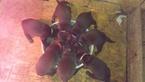 Labrador Retriever Puppy For Sale in BRADLEYVILLE, MO, USA