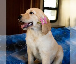 Golden Retriever Litter for sale in LOS ANGELES, CA, USA