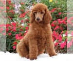 Poodle (Standard) Puppy For Sale in GAP, PA, USA