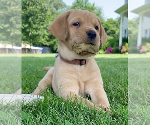 Labrador Retriever Litter for sale in CREAL SPRINGS, IL, USA