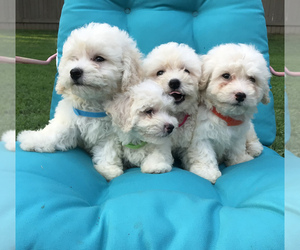 Bichpoo Litter for sale in BOWLING GREEN, KY, USA
