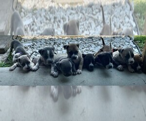 American Bully Litter for sale in PITTSBURG, TX, USA
