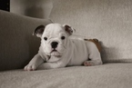Bulldog Puppy For Sale in MESQUITE, TX, USA