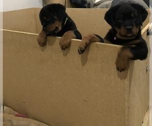 Rottweiler Litter for sale in BURTONSVILLE, MD, USA