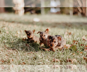 Yorkshire Terrier Litter for sale in FOREST HILL, TX, USA