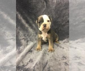 Olde English Bulldogge Litter for sale in CHETEK, WI, USA