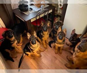 German Shepherd Dog Litter for sale in DENVER, CO, USA