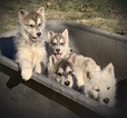 Wolf Hybrid Puppy For Sale in CLARKSVILLE, TN, USA