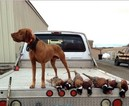 Vizsla Puppy For Sale in HYRUM, UT, USA
