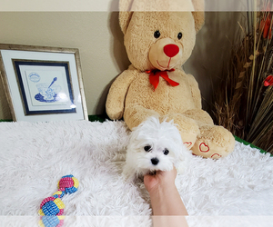 Maltese Litter for sale in LOS ANGELES, CA, USA