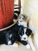 Australian Shepherd Puppy For Sale in CAT SPRING, TX, USA