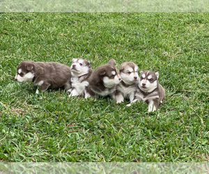 Siberian Husky Litter for sale in LINDALE, TX, USA