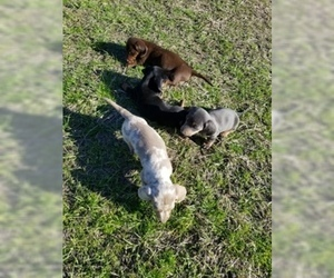 Dachshund Litter for sale in BRYAN, TX, USA