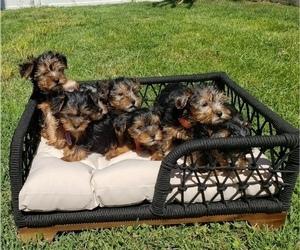 Yorkshire Terrier Litter for sale in SAVANNAH, GA, USA