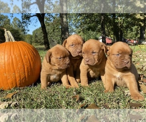 Dogue de Bordeaux Litter for sale in NEOSHO, MO, USA