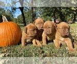 Dogue de Bordeaux Puppy For Sale in NEOSHO, MO, USA