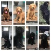 Labradoodle Puppy For Sale in MCDONOUGH, GA, USA