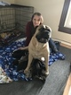 Bullmastiff-Great Dane Mix Puppy For Sale in BUCKHANNON, WV, USA