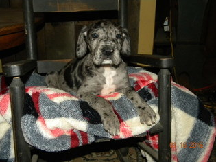 Great Dane Litter for sale in PATASKALA, OH, USA
