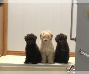 Poodle (Miniature) Litter for sale in NEW RICHLAND, MN, USA