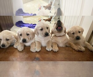 Golden Labrador Litter for sale in BUENA PARK, CA, USA