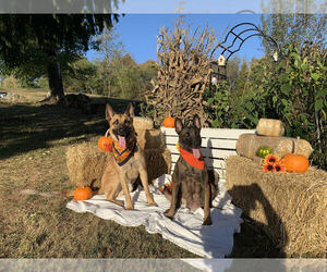 Belgian Malinois Litter for sale in BELINGTON, WV, USA