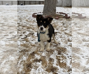 Border Collie Litter for sale in CARR, CO, USA