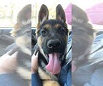 Small Photo #1 German Shepherd Dog Puppy For Sale in CHARLOTTE, NC, USA