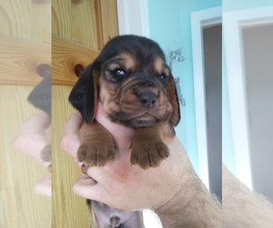 Basset Hound Litter for sale in PETERSBURG, IN, USA