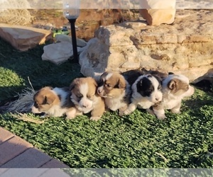 Pembroke Welsh Corgi Litter for sale in HOLBROOK, AZ, USA