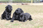 Labrador Retriever Puppy For Sale in ODUM, GA, USA