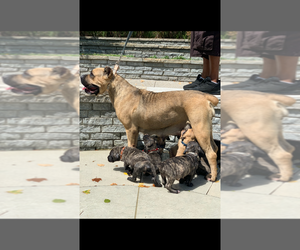 Cane Corso Litter for sale in HAMILTON, OH, USA